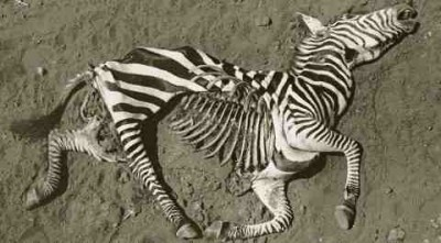 Peter Beard death zebra carcass